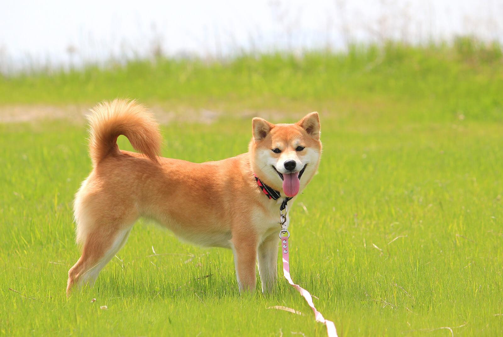 草原にたたずむ柴犬