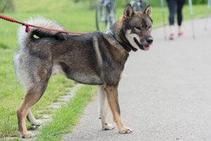 散歩途中の四国犬