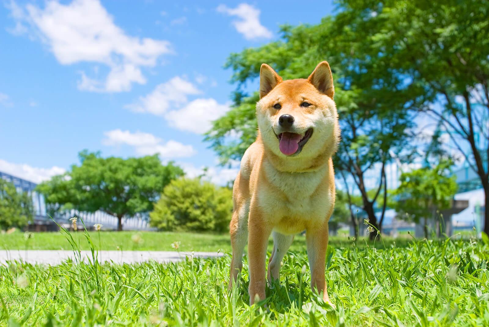 天気が良い空の下の柴犬