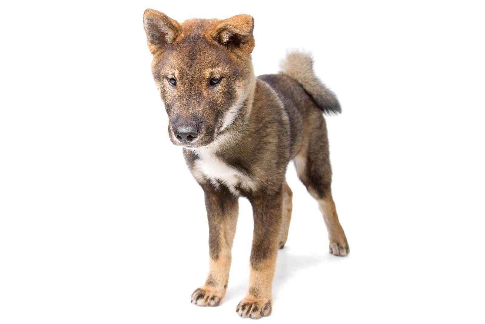 四国犬の子犬