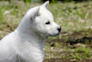 白い紀州犬の子犬