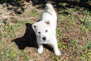 紀州犬の白の子犬