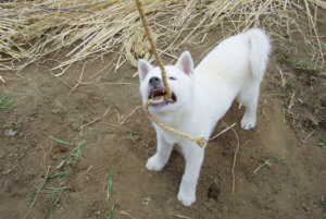 綱引きで遊び紀州犬