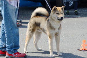 黒ごまの紀州犬