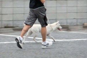 走る紀州犬