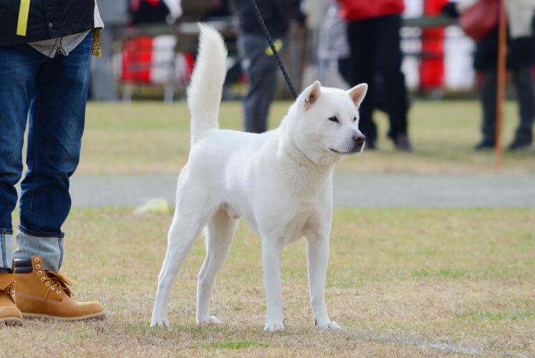 太刀尾が美しい紀州犬