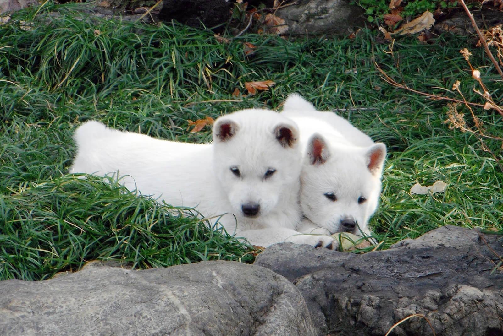 二匹の紀州犬の子犬