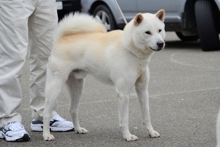 よごれ白の紀州犬