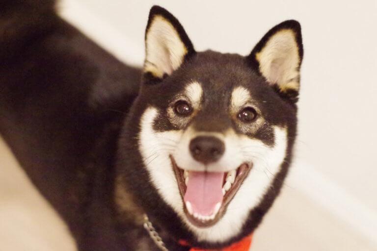 黒柴子犬の笑顔