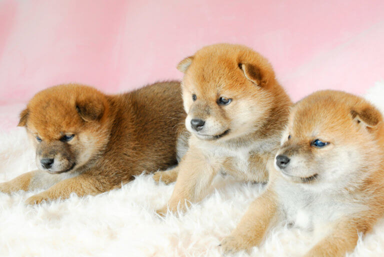 三匹の柴犬の子犬