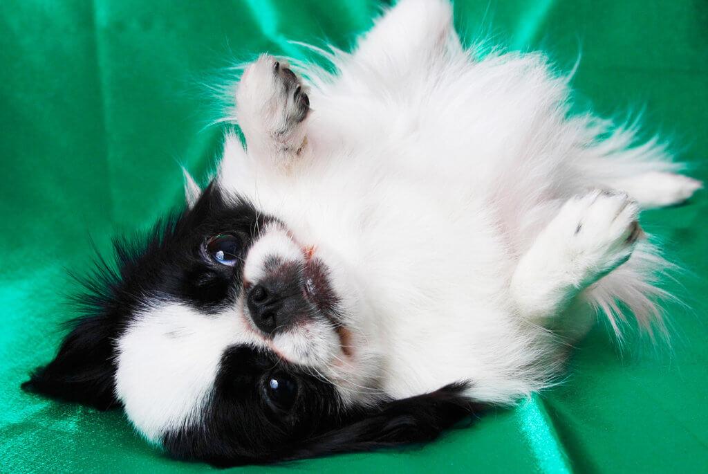 寝転んだ狆の子犬