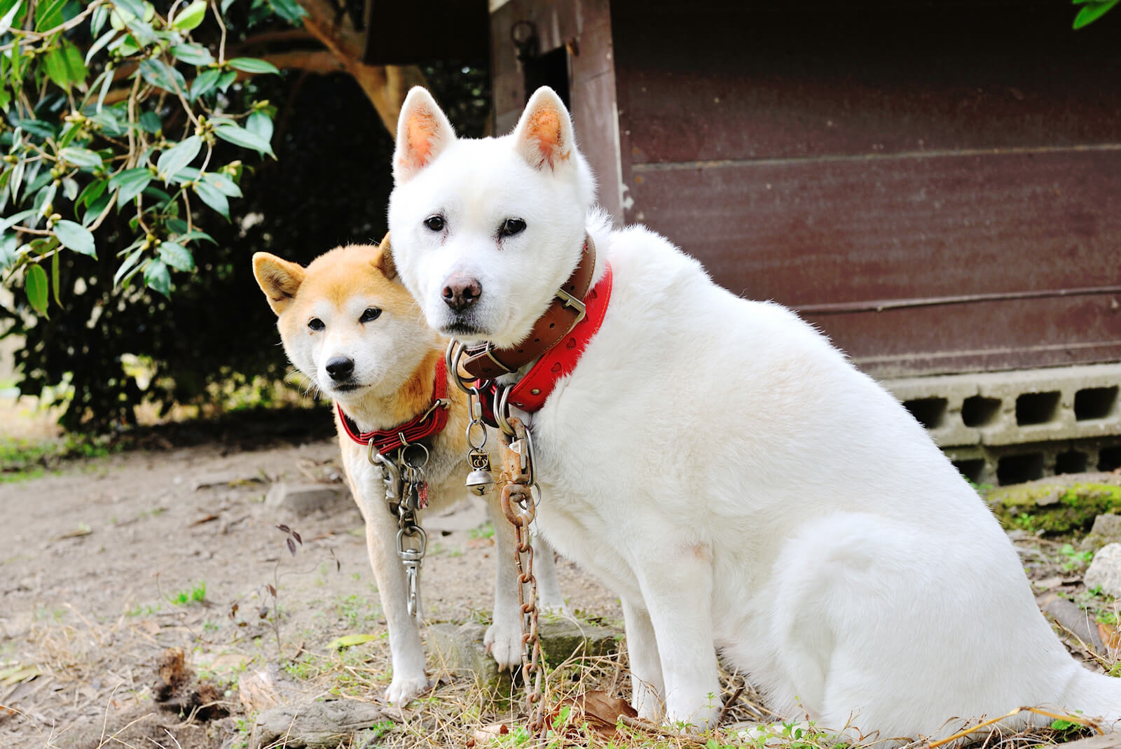 紀州犬と柴犬