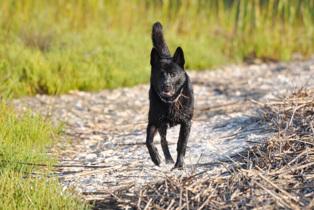 走る黒い甲斐犬
