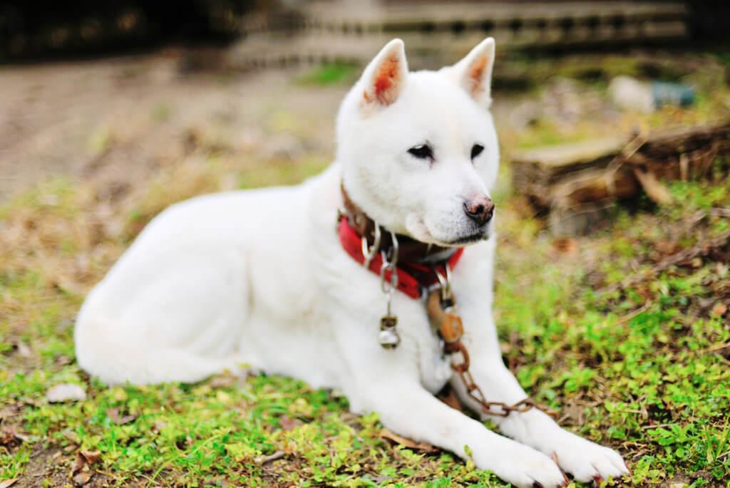 おすわりしている紀州犬