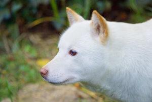 横を向いた北海道犬のメス