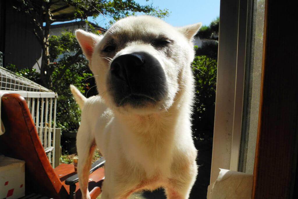 紀州犬の子犬の顔アップ