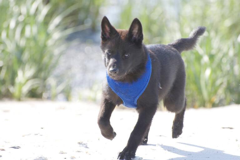 走る甲斐犬の子犬
