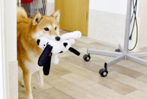 おもちゃを咥えた柴犬