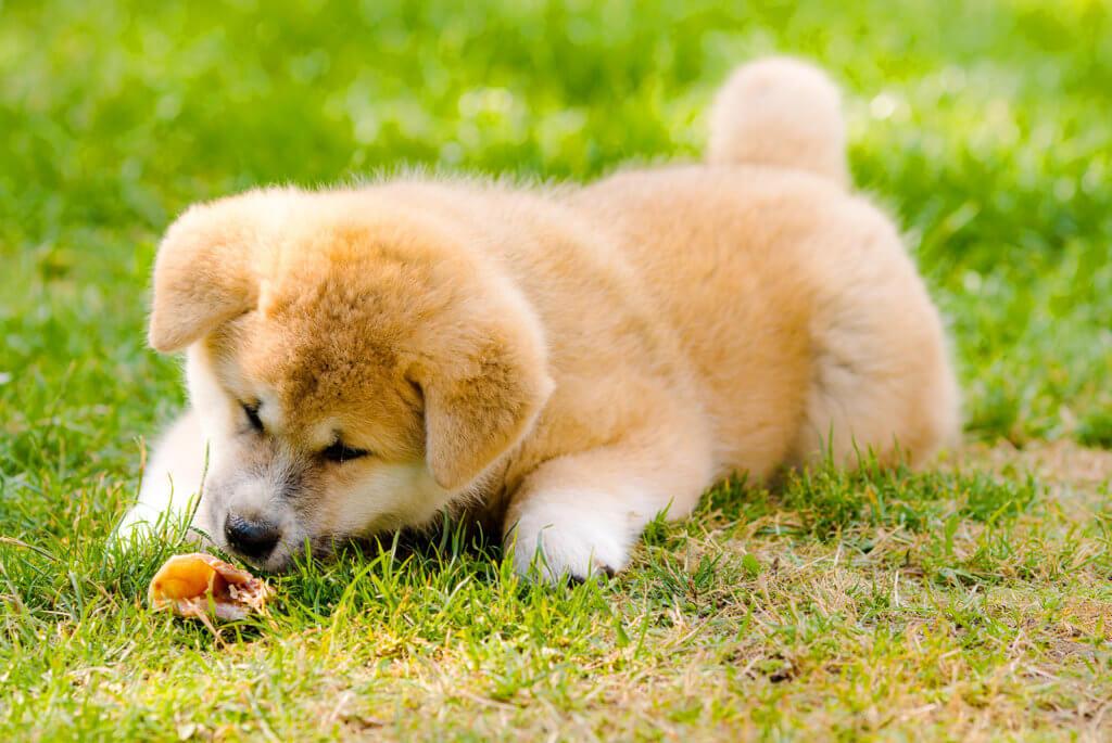 秋田犬の子犬が餌を食べる