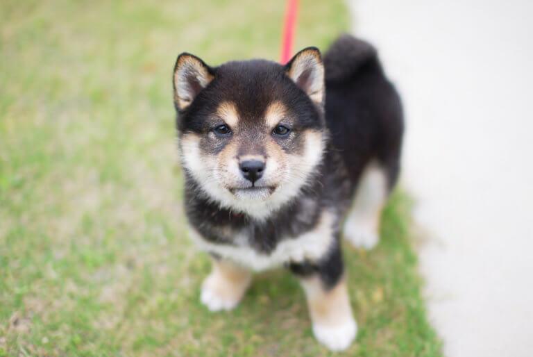 日本犬の価格