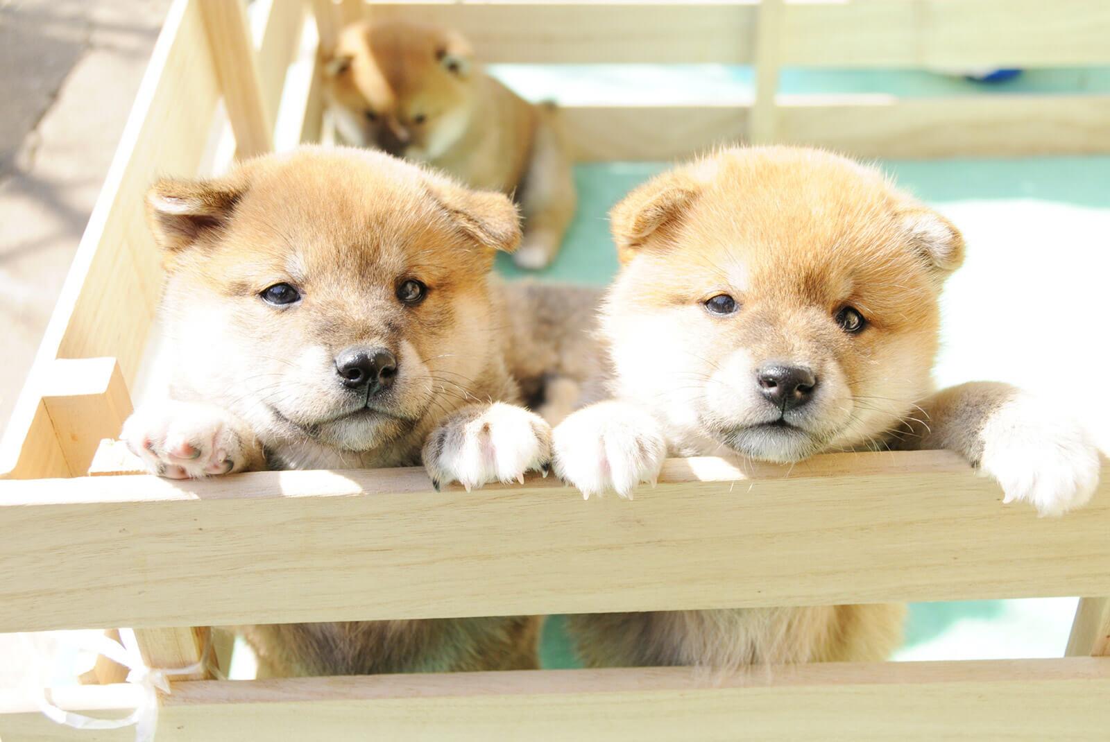 柴犬の子犬が2匹