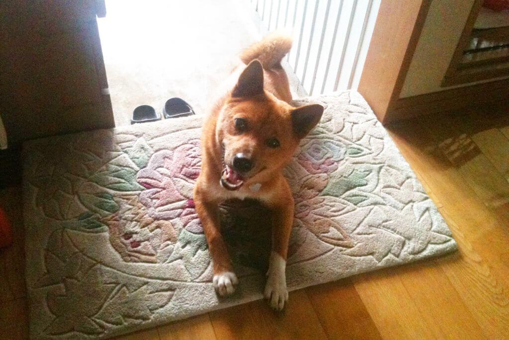 玄関の美濃柴犬