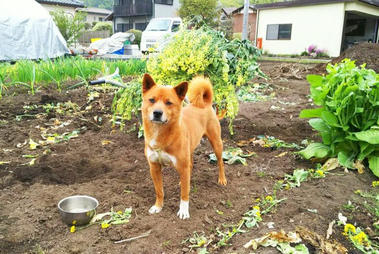 畑に佇む美濃柴犬