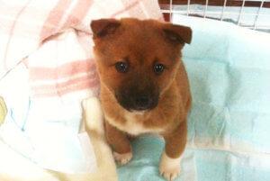 子犬の美濃柴犬の写真