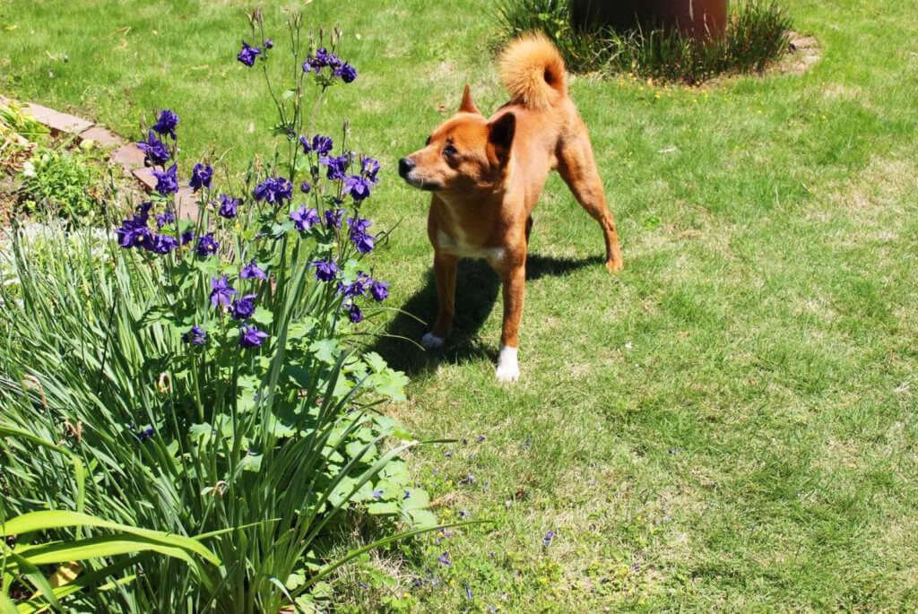 庭で遊ぶ美濃柴犬