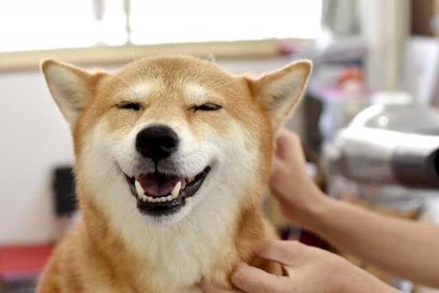 トリミングする柴犬