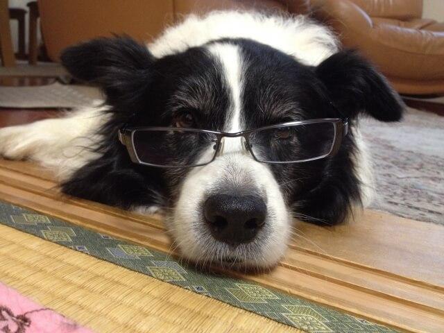 眼鏡伏せる犬