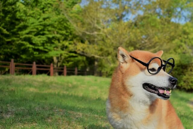 柴犬眼鏡かける草原