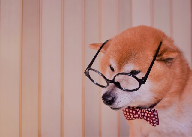 メガネ下を向く柴犬