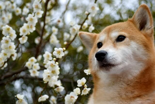 柴犬見上げる梅