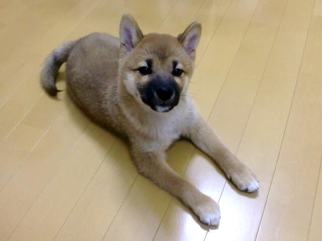 日本犬伏せる子犬